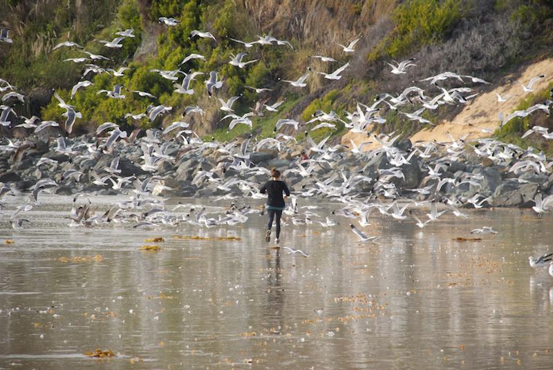 Laguna Beach seagulls
