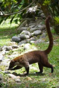 "Coati (""coatimundi""), or ""pizote"" in Spanish"
